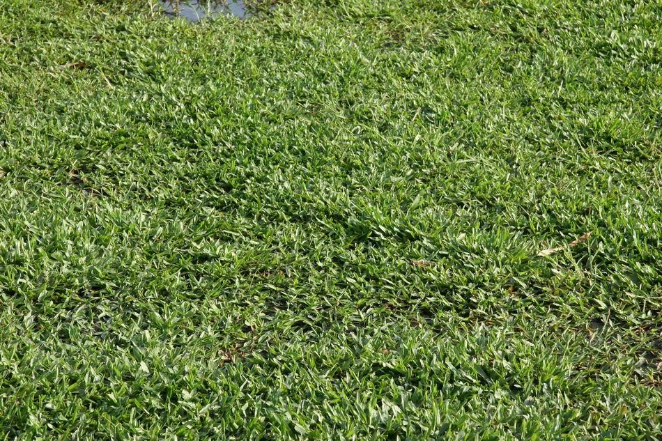 Carpetgrass tropical carpet grass axonopus compressus sw