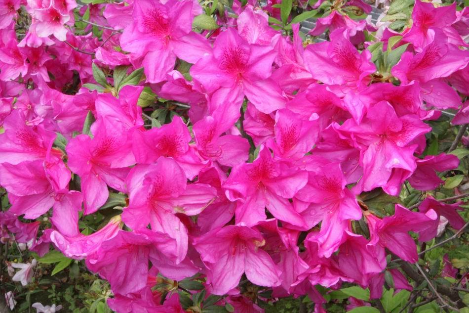 「杜鵑花」的圖片搜尋結果