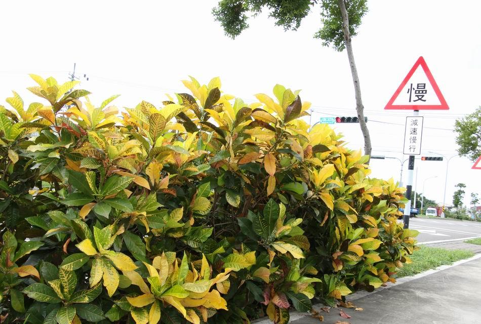「變葉木」的圖片搜尋結果