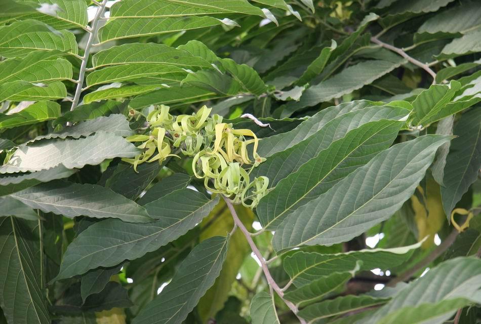 香水香精_香水樹